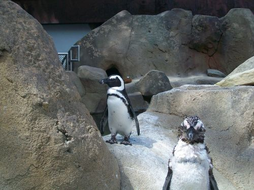 avian birds penguins