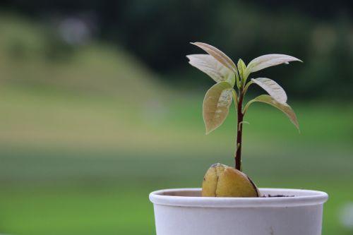 avocado plant seed