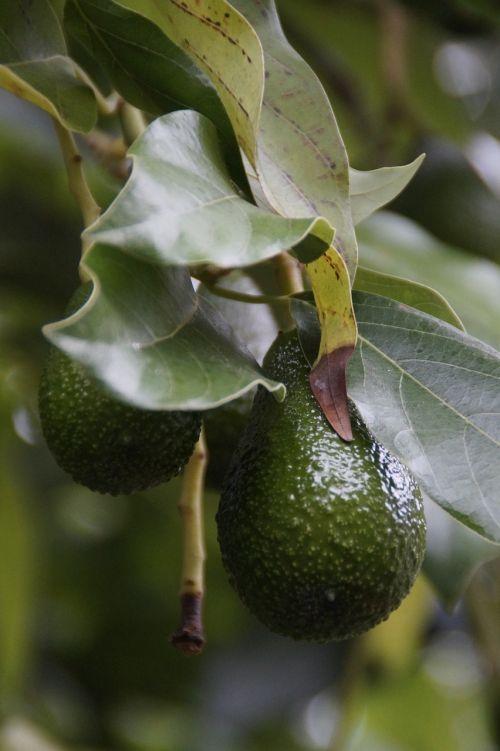 avocado avocado tree plant