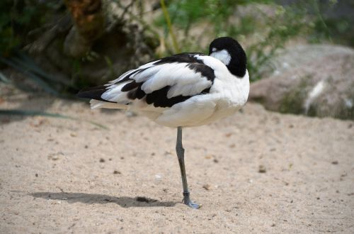 avocet bird water bird