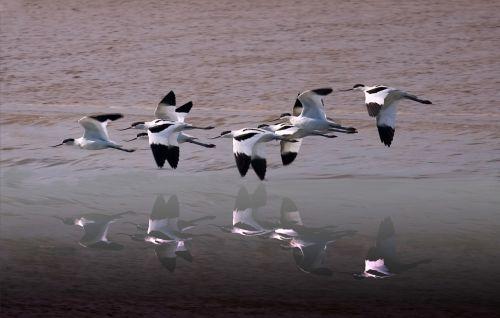 avocets wildlife wetland