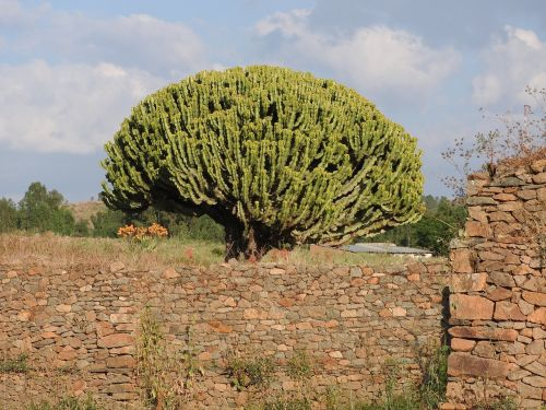 axum ethiopia spurge tree