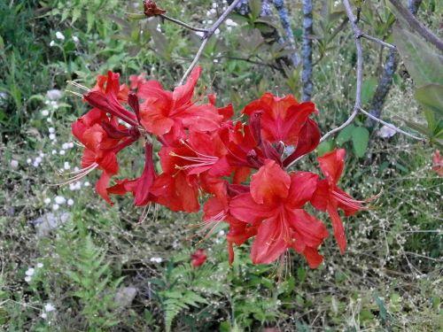 azalea rosebay in the early summer
