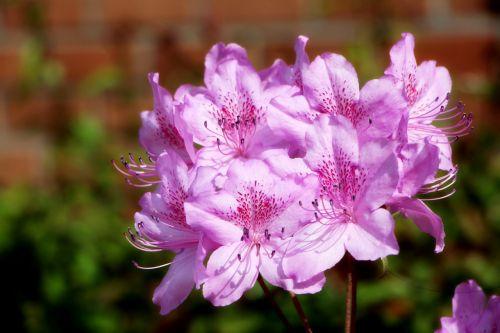 azalija,pavasaris,azalijos gėlės,augalai,Balandis,gėlės,pavasario gėlės,gamta,gėlių medis,gėlių sodai,kraštovaizdis,raudonos gėlės,rožinis,hwasaham,rožinė gėlė