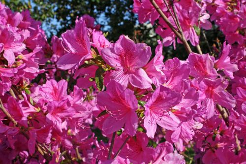 azalea plant flower
