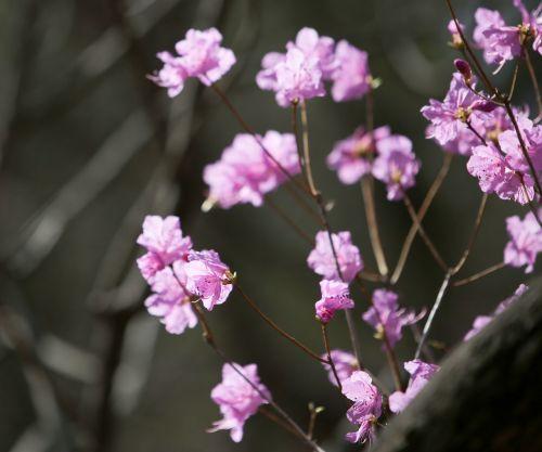 azalea flowers mountain flowers