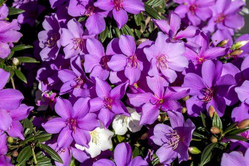 azalea flower lilac