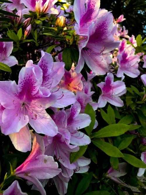 azalea blooms bush