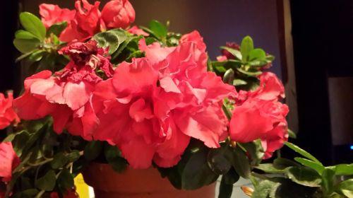 azalea red flowers