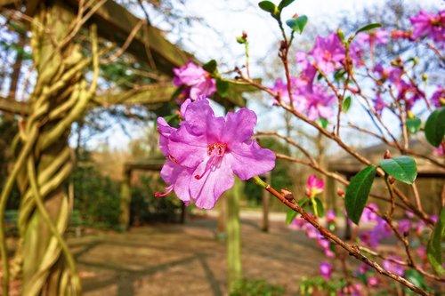 azalea  pink azalea  flower