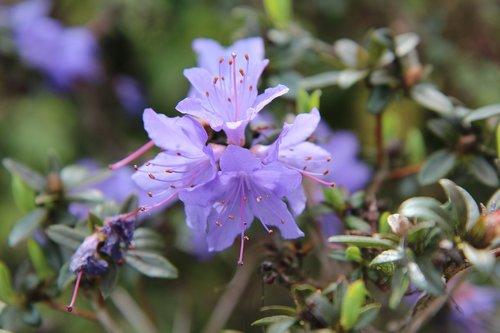 azalea  azalea garden  azalea purple