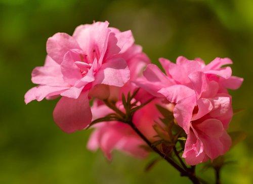 azalea  azaleas  rhododendron