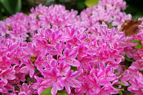 azalea  azalea flowers  blossomed