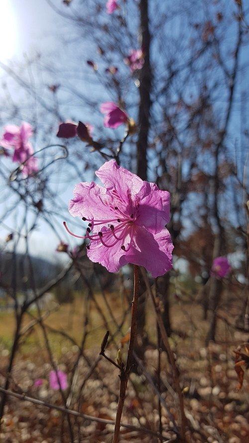 azalea  spring flowers  azalea flowers