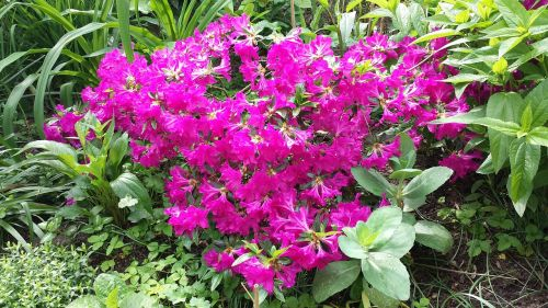 azalea flowers shrubs