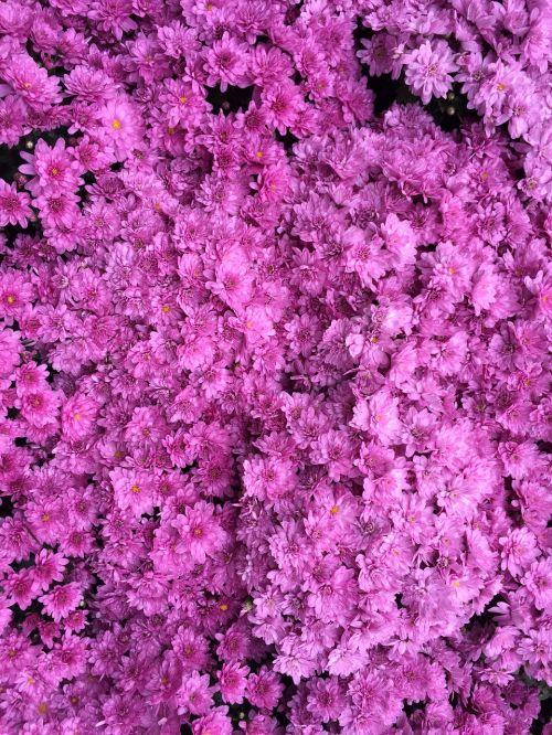 azalea color dark pink hot pink