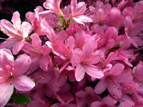 azalea flowers spring farbenpracht
