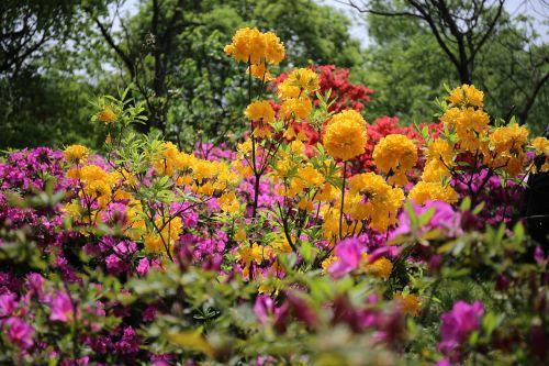 azaleas flower views