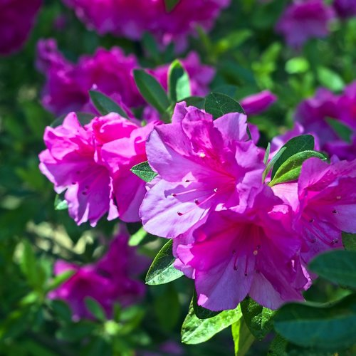 azaleas in pink  blossoms  azalea