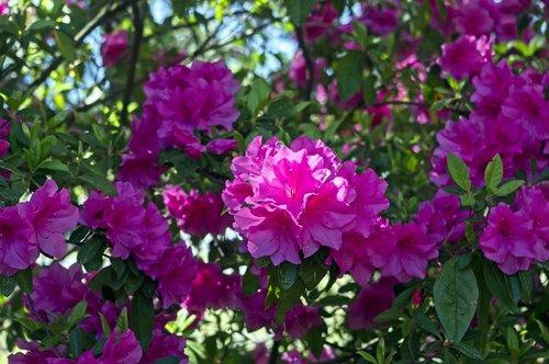azaleas in pink splendor  blossoms  azalea