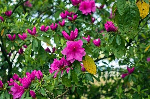 azaleas in the ozark mountains  blossoms  azalea