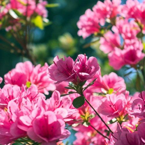 azaleas in the ozarks  blossoms  azalea