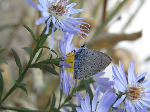 azure  butterfly  azure cordouan