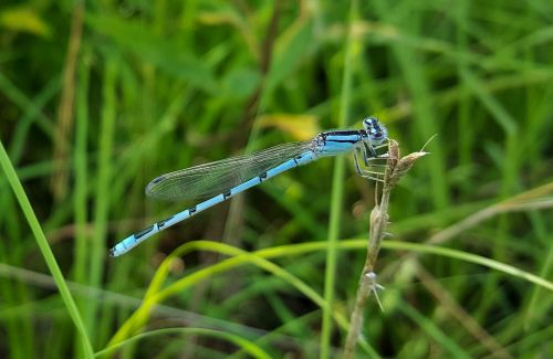 familiar bluet damselfly damselfly insect