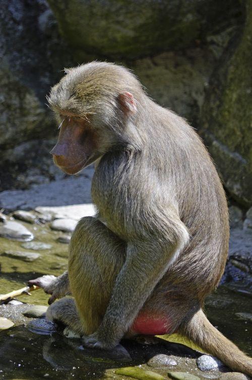 baboon monkey sit
