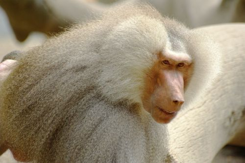 baboon white fur