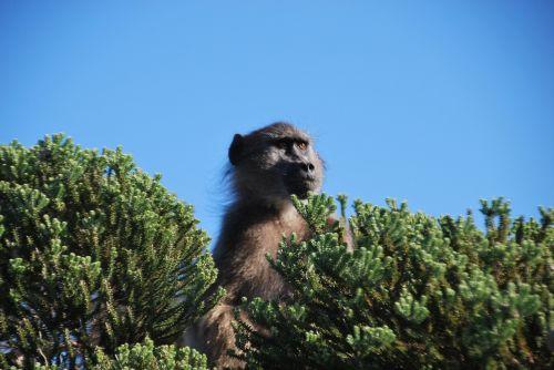 baboon monkeys mammals