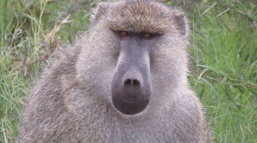 baboon kenya africa