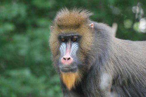 baboon  zoo  primate
