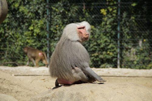 baboon monkey old