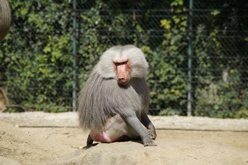 baboon animal old