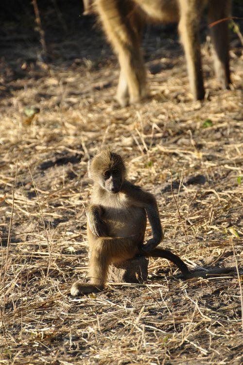 baboon monkey young animal