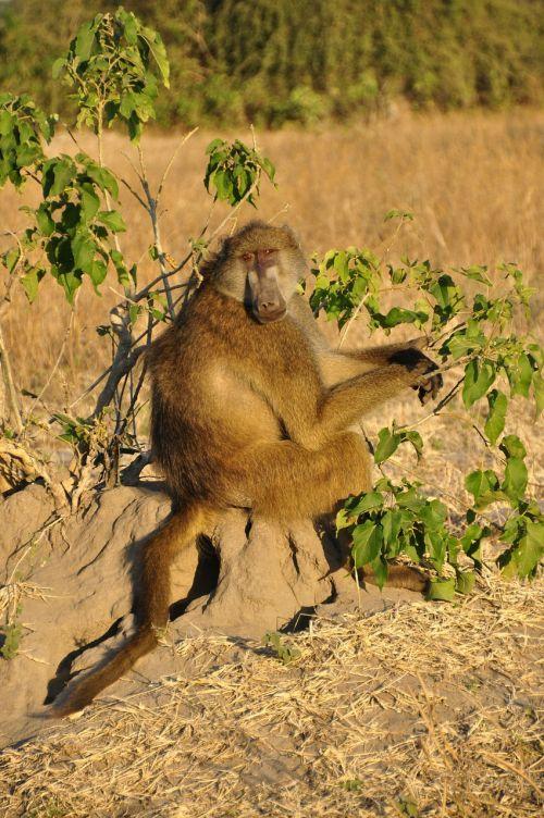 baboon monkey sitting sitting