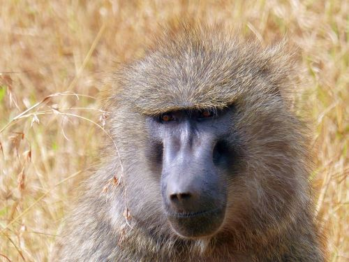 baboon primate africa