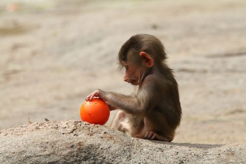 baboon baby baboon playing baboon