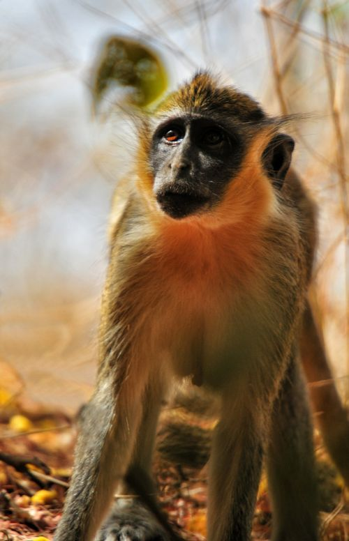 baboon chamka monkey africa