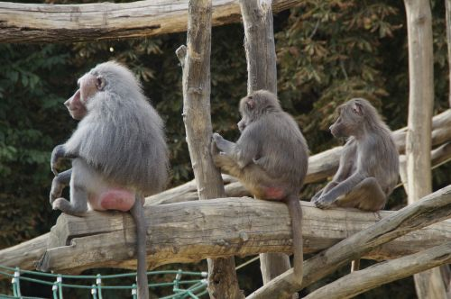 baboons sit family