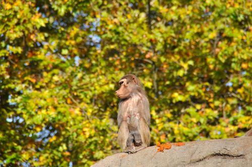 baboons papio old world monkey relatives