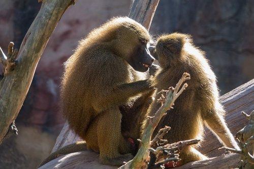 baboons  ape  delouse