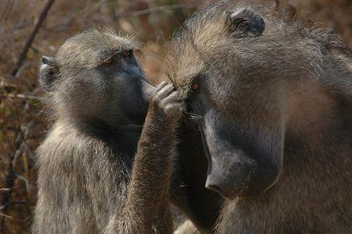 baboons wildlife africa