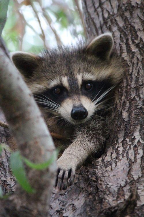 baby raccoon cute
