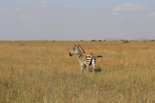 baby zebra kenya