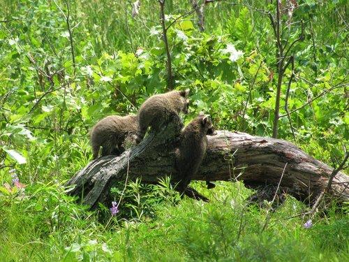 baby  baby raccoons  raccoons