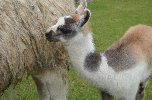baby  llama  peru