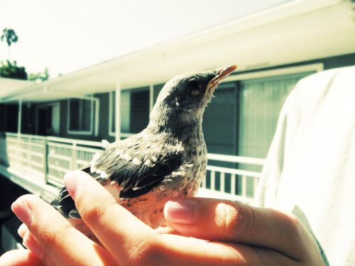 baby mockingbird babybird