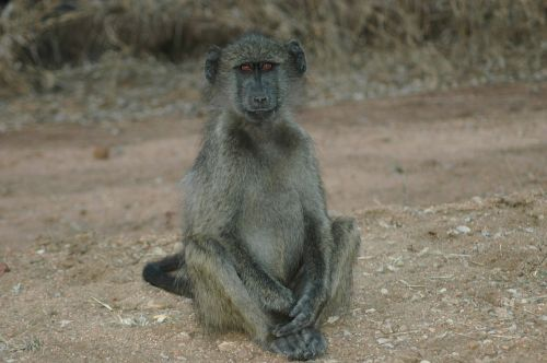baby baboon south africa kruger national park